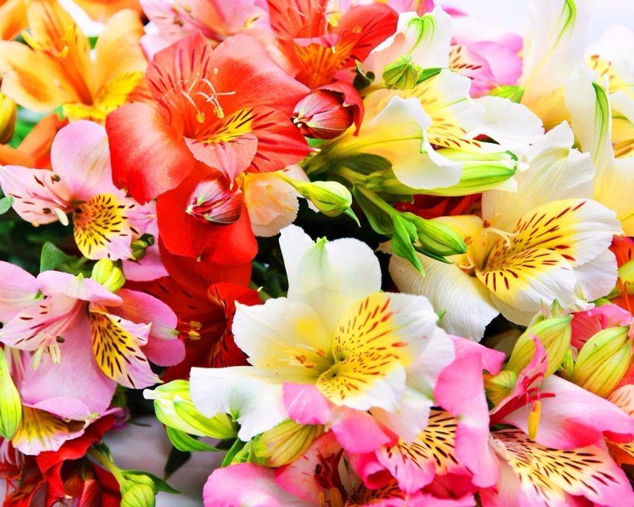 Альстромерии заказать букет в москве доставка цветов из братска